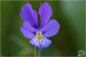 Trei fraţi pătaţi (Viola tricolor)
