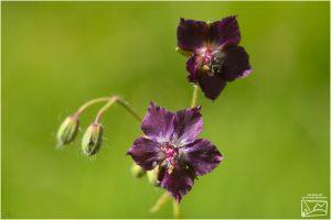 napraznicul(Geranium robertianum L.)