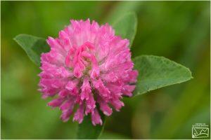 Trifoi roşu (Trifolium pratense)